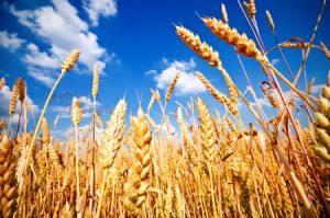 6 vérités sur le blé