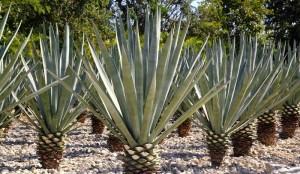 Perdre Quelques Calories avec l'Agave du Mexique