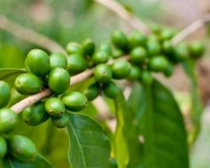 Grain de café vert